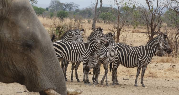 Elephants and zebras in Tarangire national park