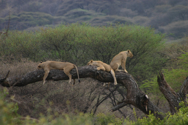 Lions Climbing Tree - Short 3 days safaris to lake manyara
