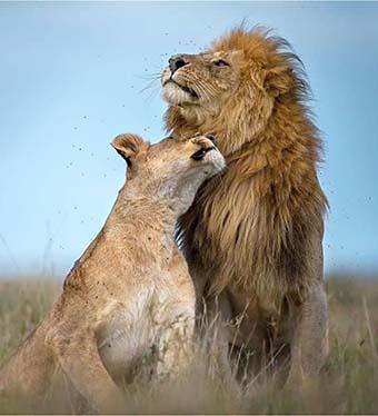 Tanzania safaris lions in serengeti
