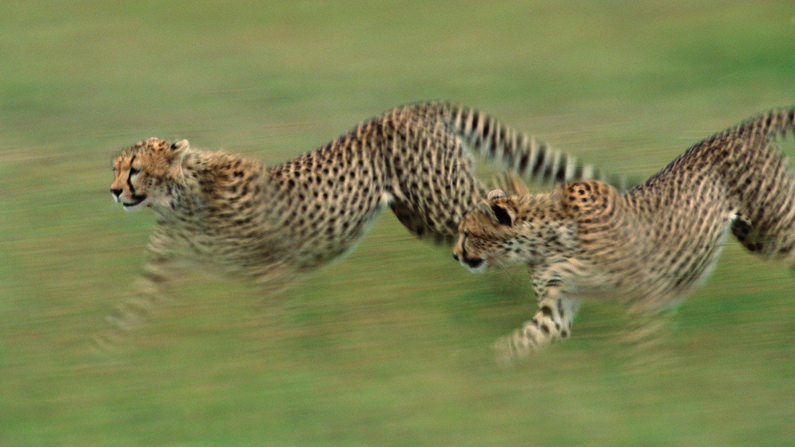 northern-tanzania-Serengeti Cheetah