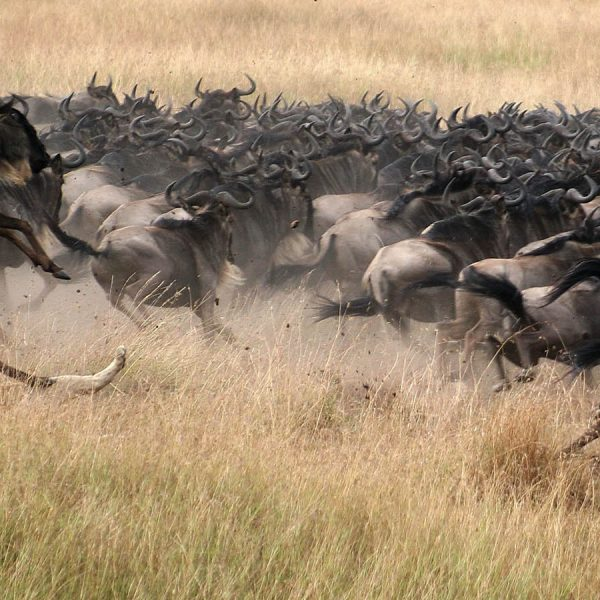 the-great-wildebeest-migration-lions